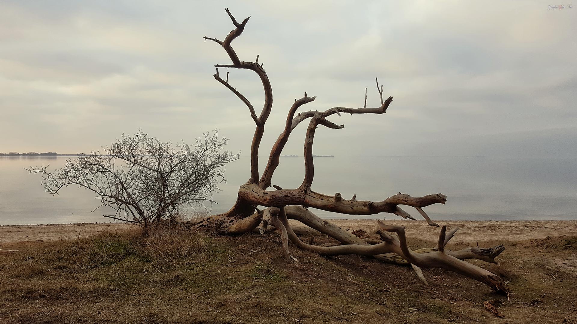 Alter Baum am Greifswalder Bodden