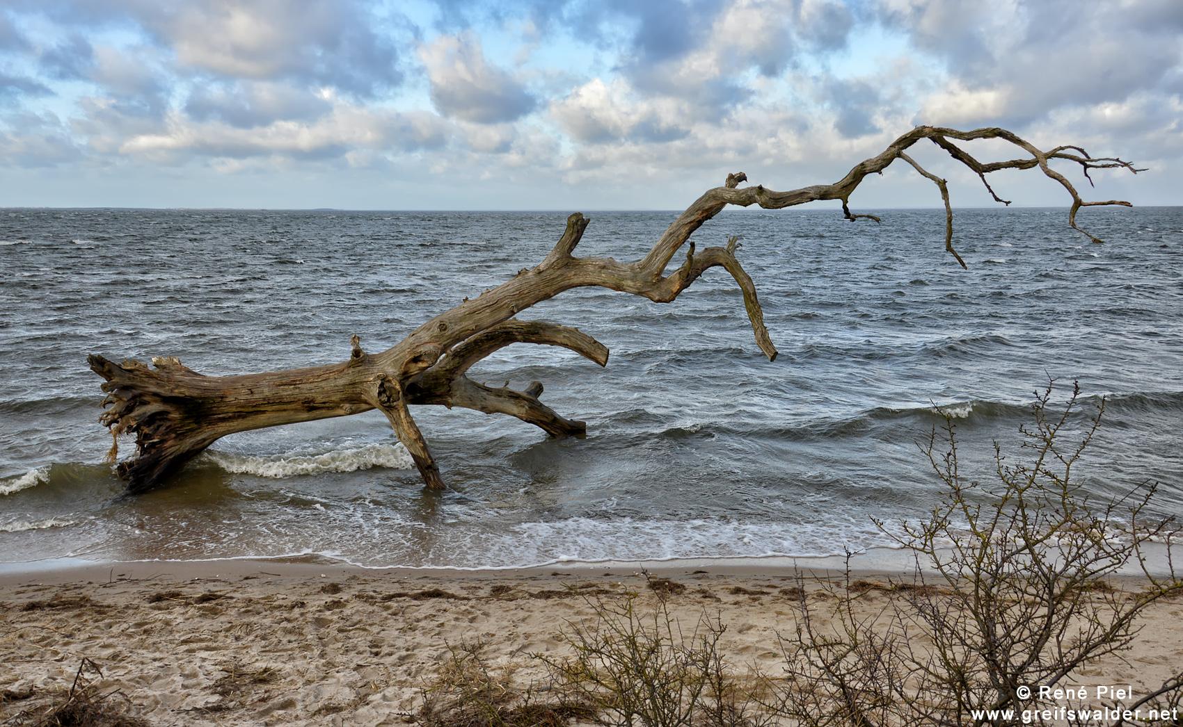 Schlafende Bäume am Strand bei Loissin am Greifswalder Bodden