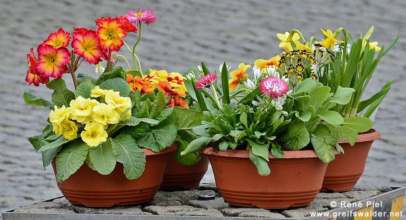 Blumengruß vom Greifswalder Markt