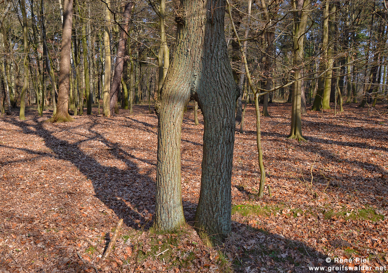 Baum auf zwei Beinen