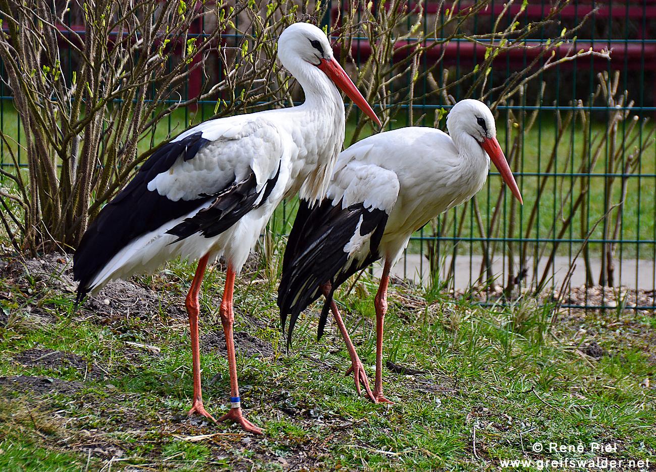 Störche im Greifswalder Tierpark