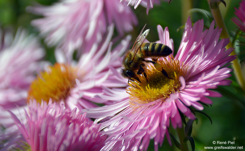 fleißiges Bienchen in der Herbstsonne