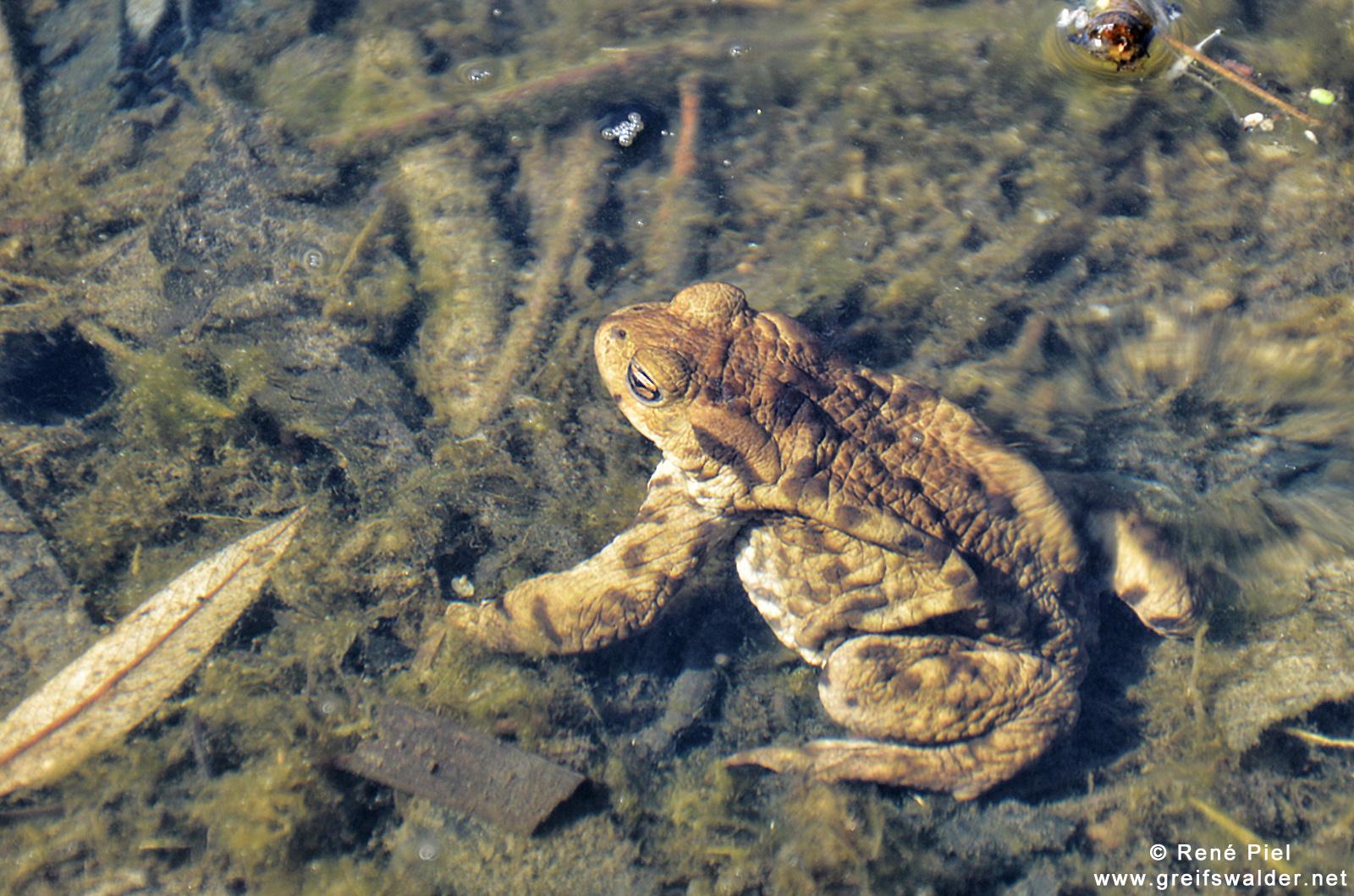 abgetaucht - Kröte unter Wasser