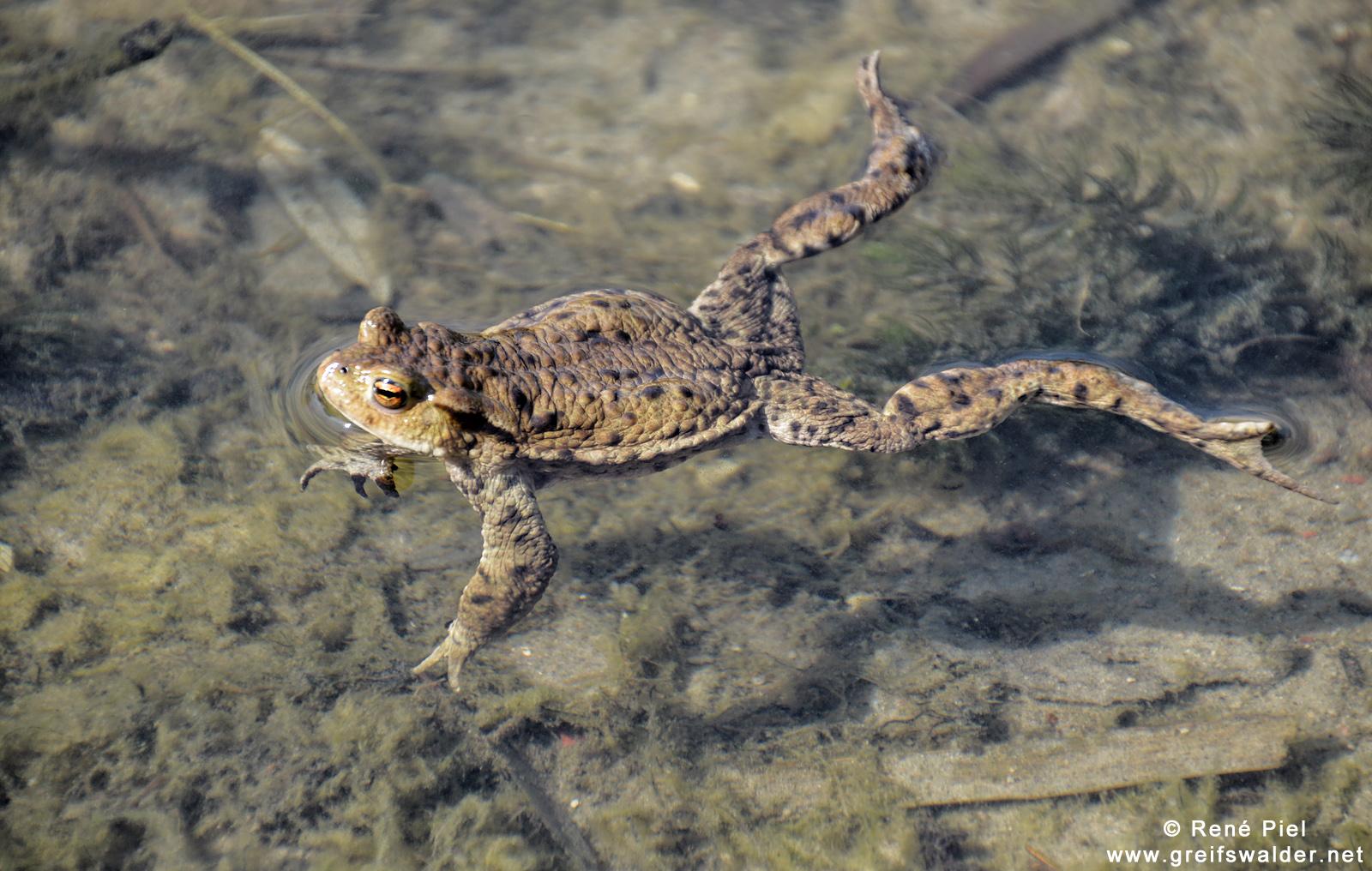 guter Schwimmer - der Chef im Teich