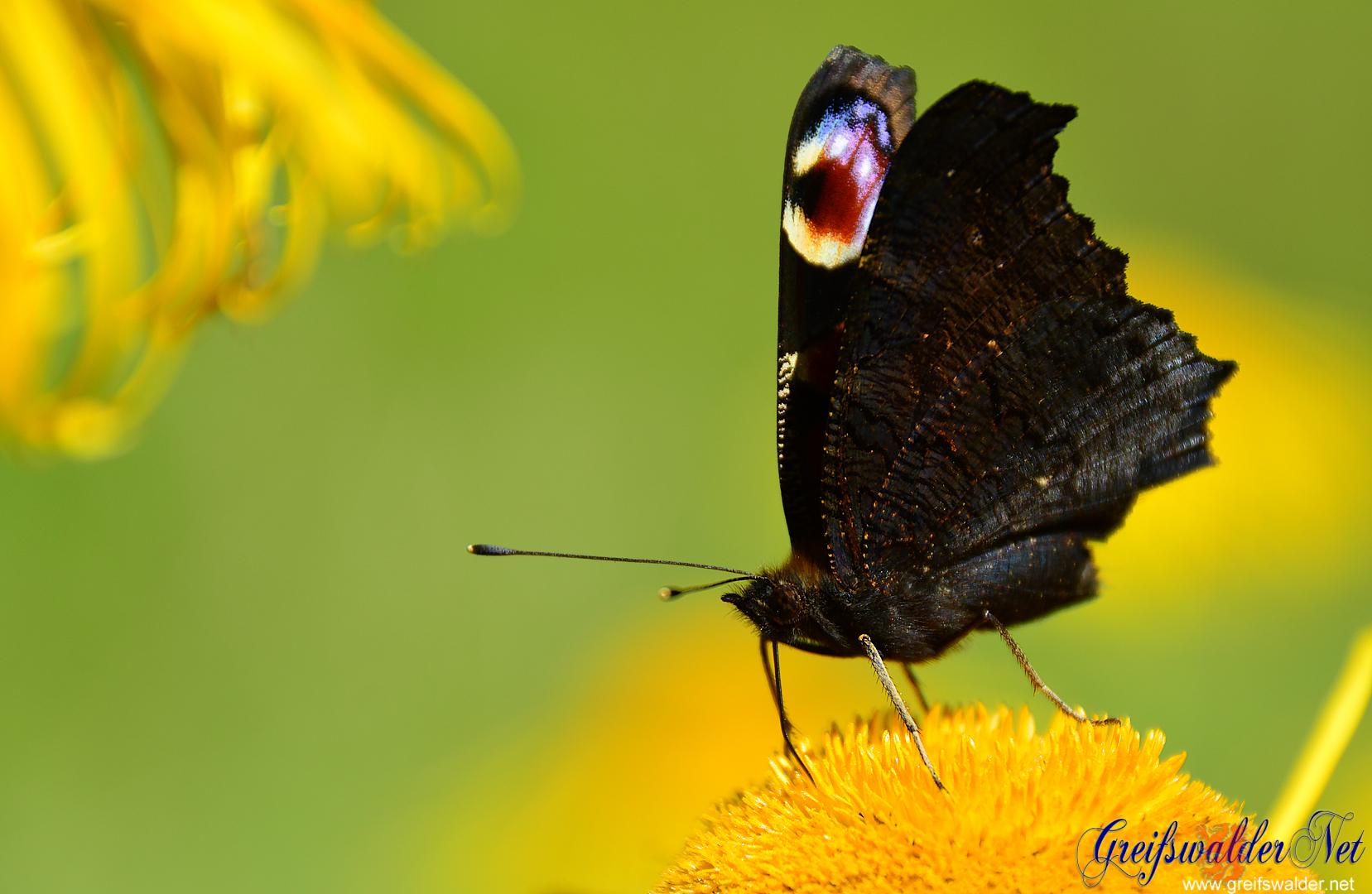Schmetterling (Pfauenauge)