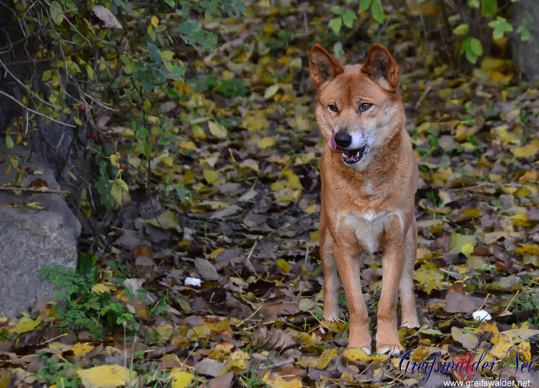 Dingo im Tierpark Greifswald