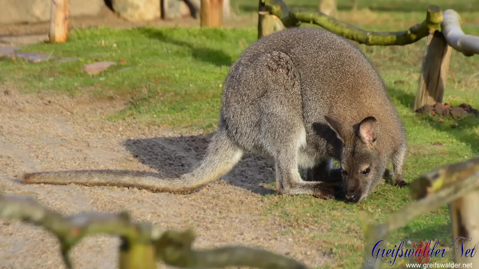 Känguru genießt die Sonne im Tierpark Greifswald