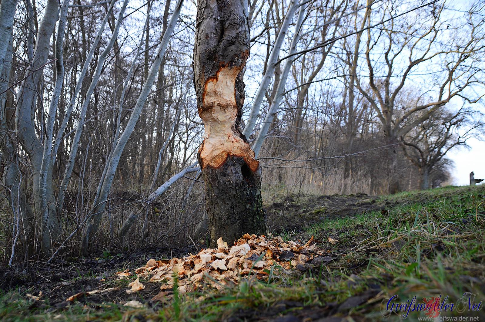 Biber nagen Baum an