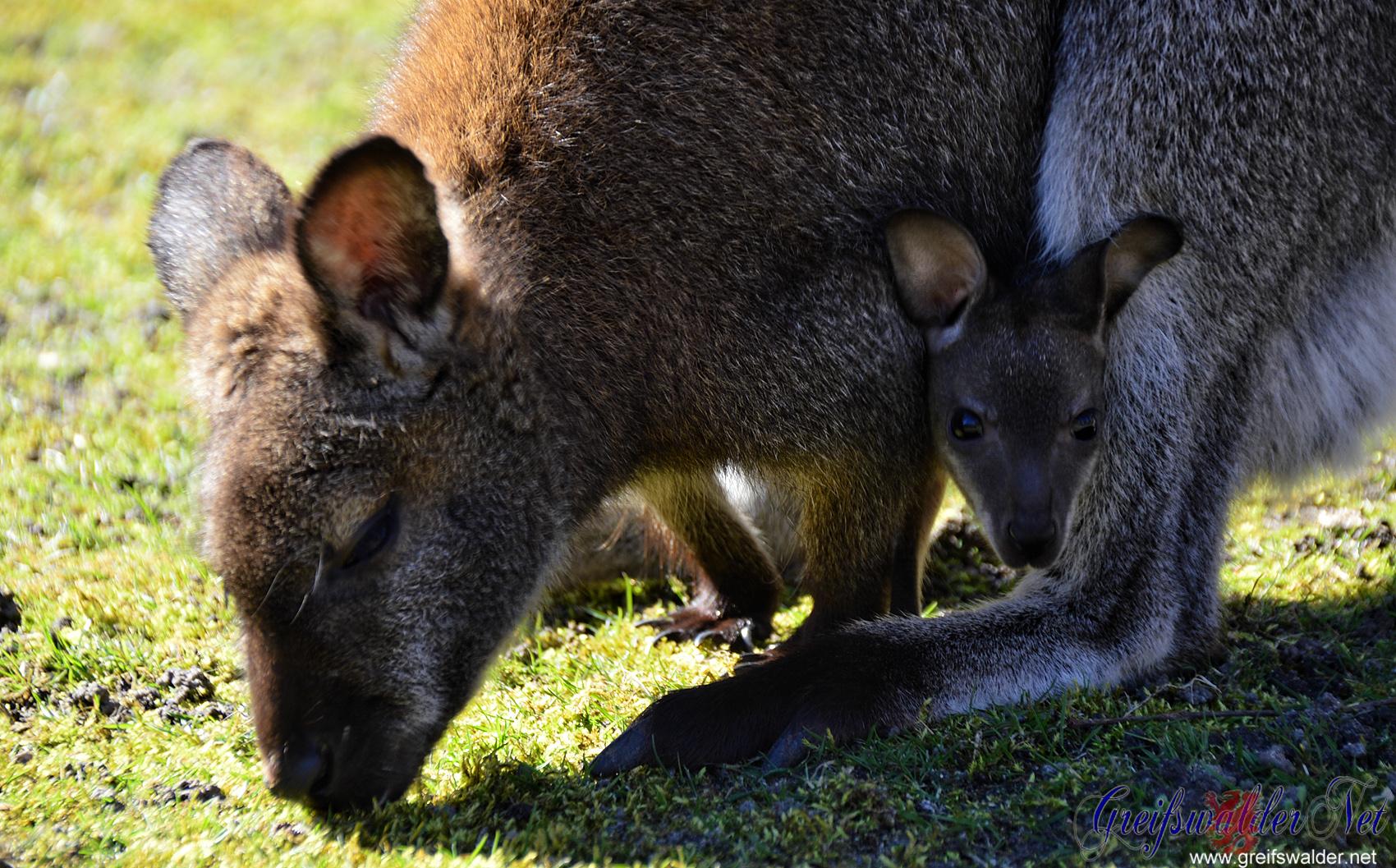 Känguru mit Baby im Tierpark Greifswald