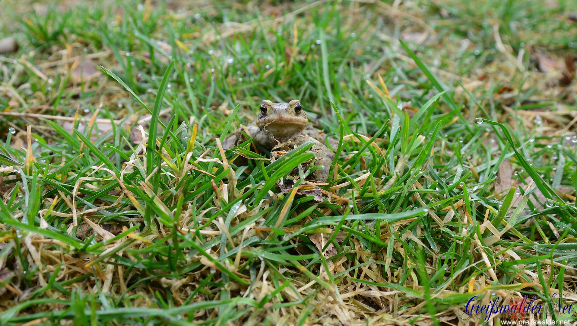 Kröte im Gras