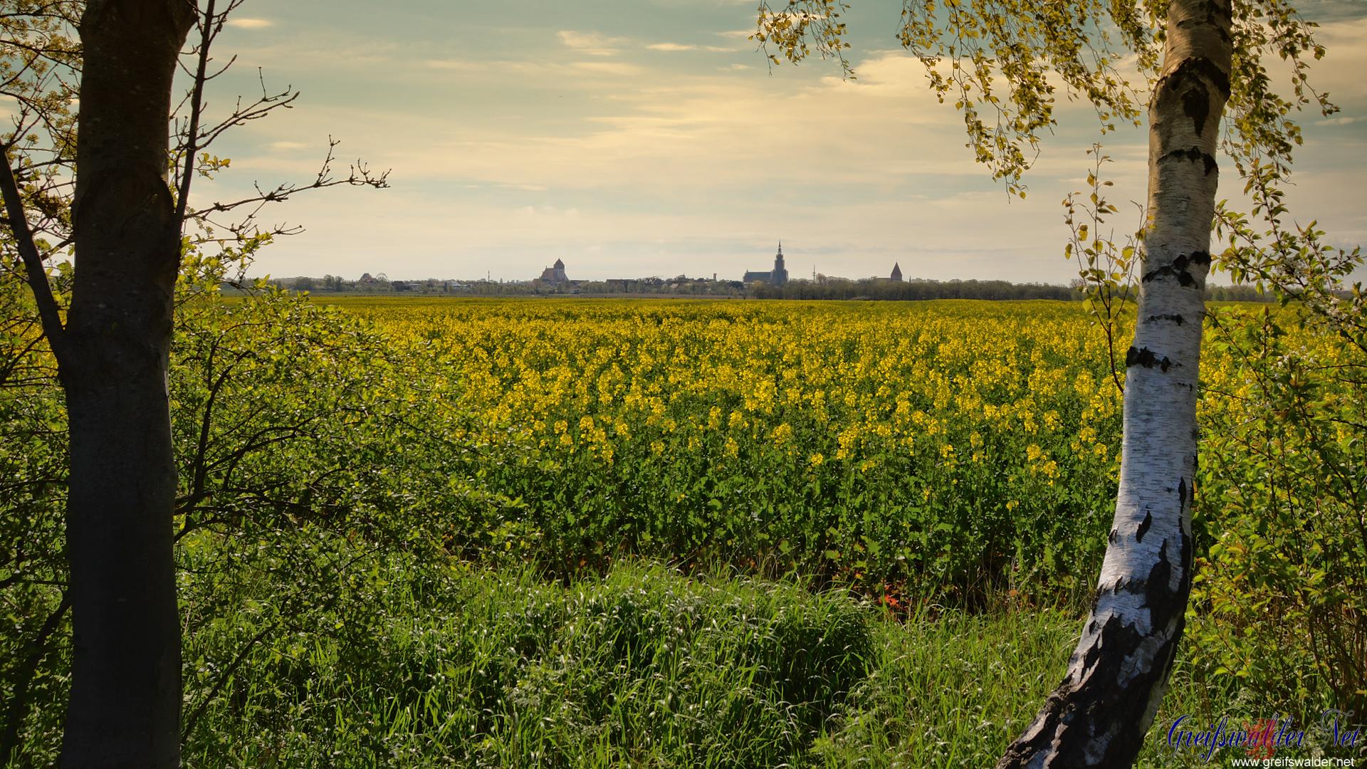 Blick auf Greifswald - Der Raps blüht