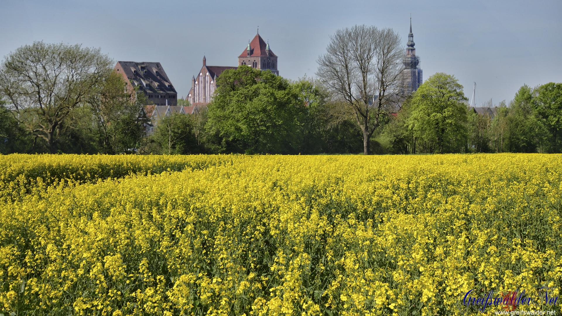 Rapsfeld - Blick auf Greifswald