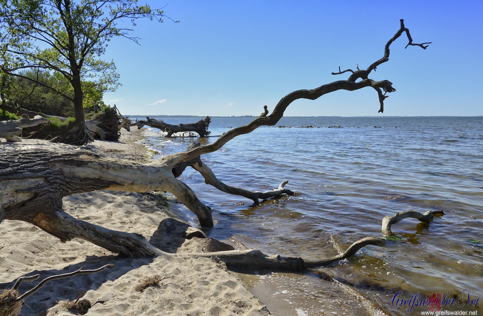 schlafende Bäume am Strand bei Loissin