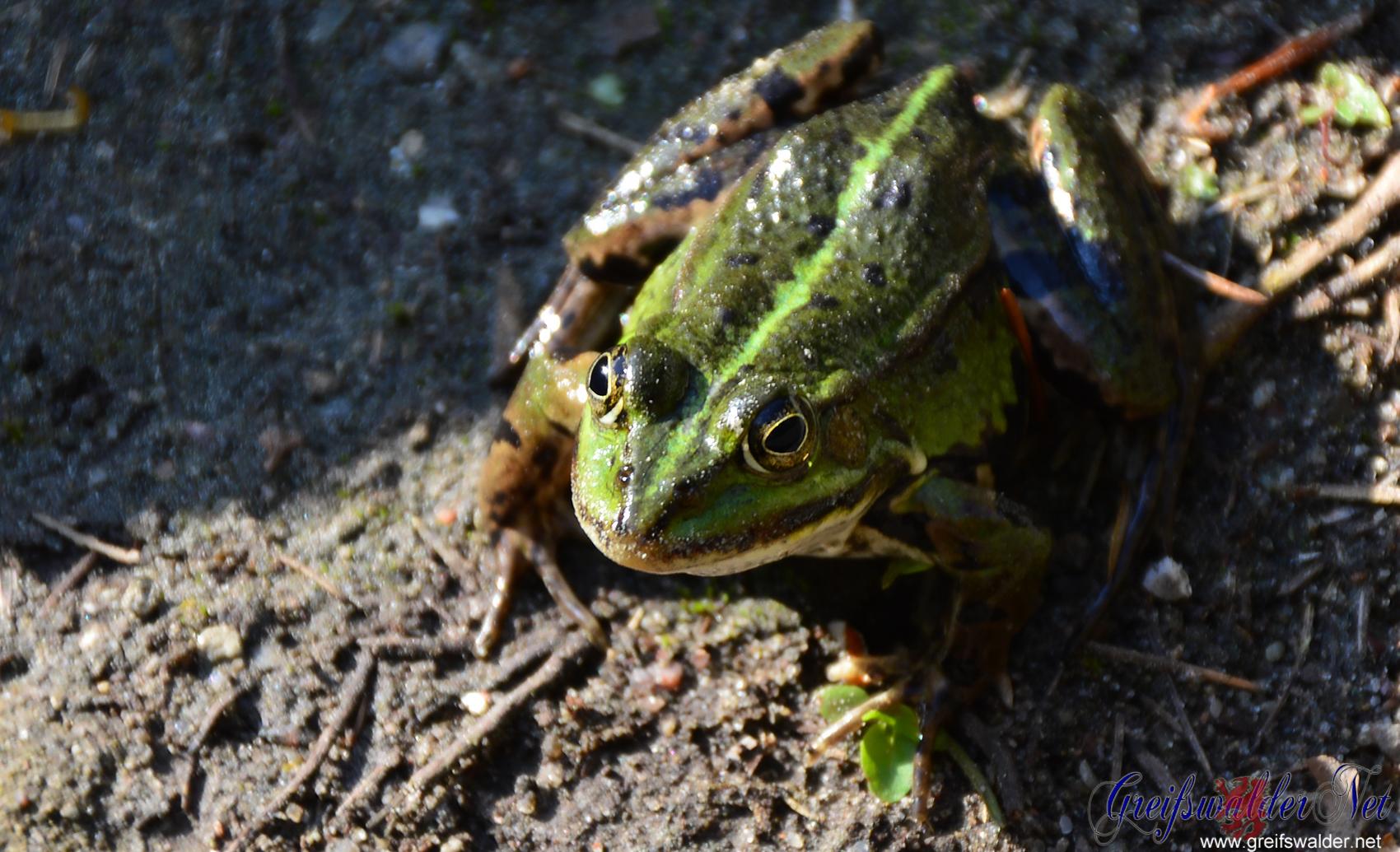 Frosch sonnt sich nach einem Regenschauer