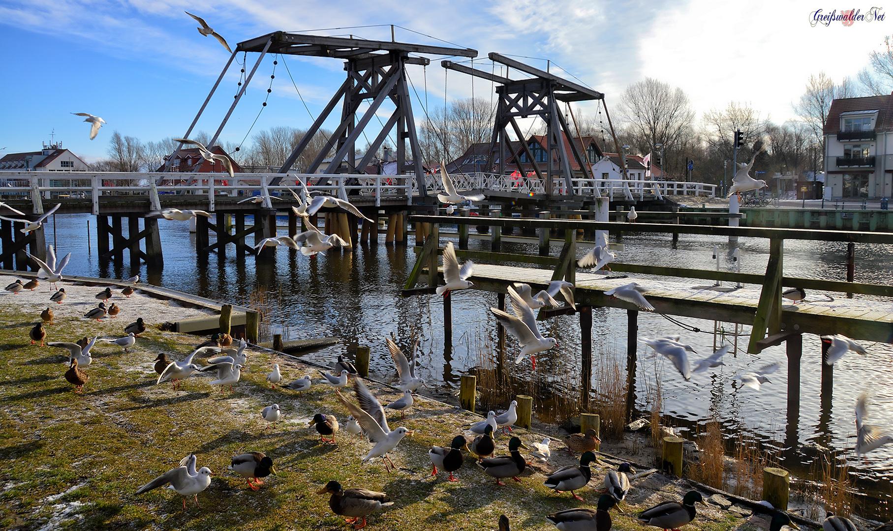 Möwen und Enten an der Brücke in Greifswald-Wieck
