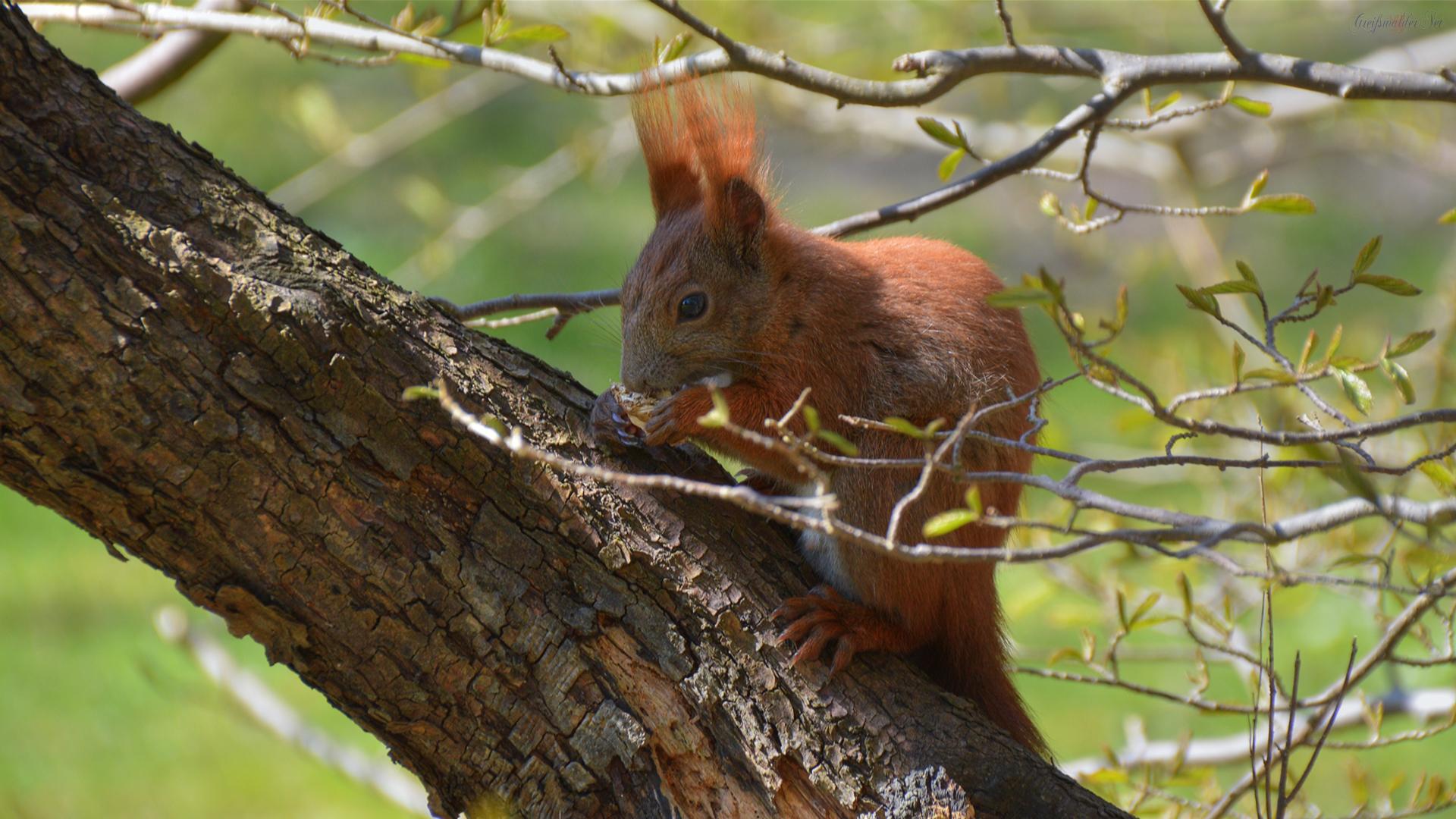 Eichhörnchen im Arboretum des Botanischen Gartens Greifswald