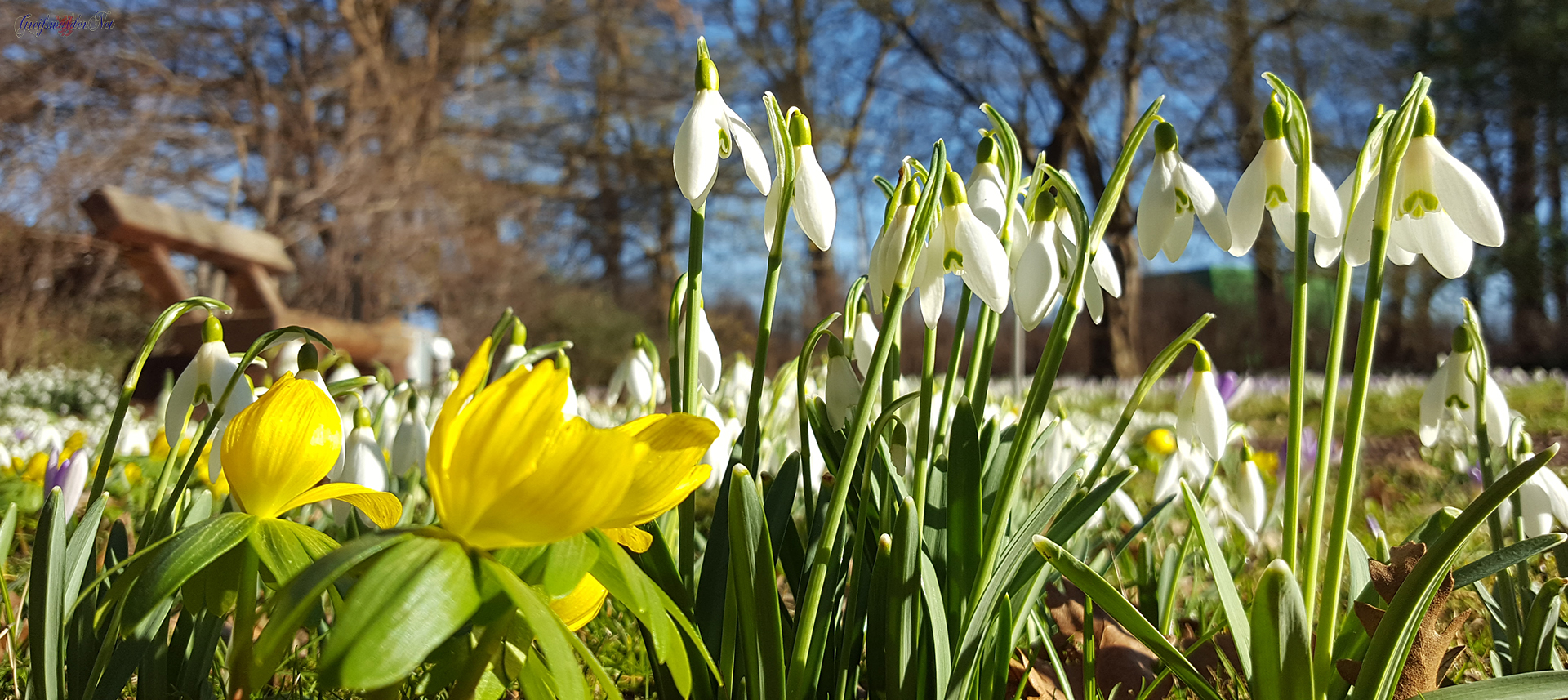 Frühjahrsblüher - Schneeglöckchen und Winterlinge