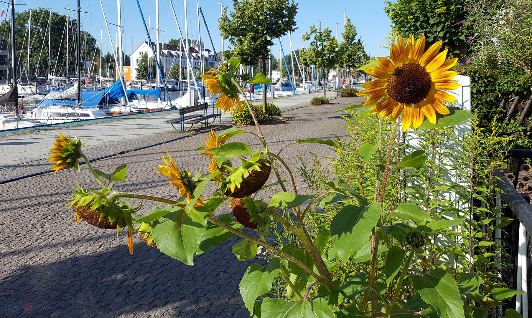 Sonnenblume in Greifswald-Wieck