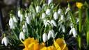 Frühlingsboten im Februar - Schneeglöckchen