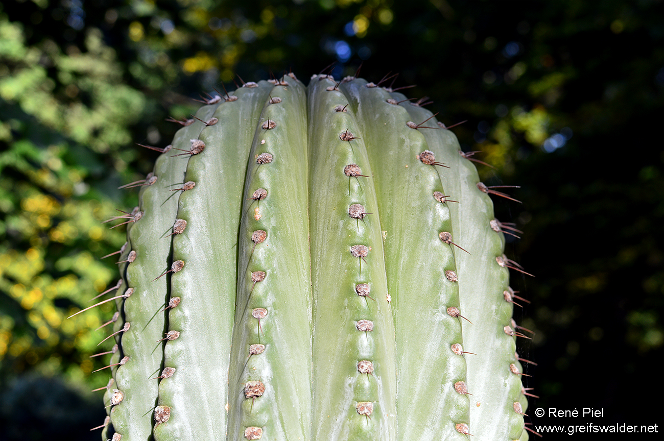 Kaktus im Arboretum