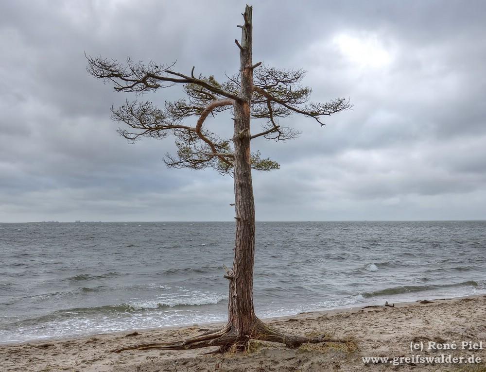 Baum am Strand bei Loissin